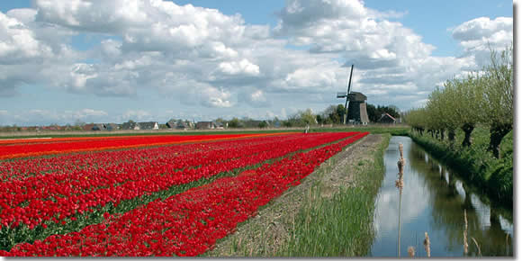 Tulips and windmills in the Netherlands