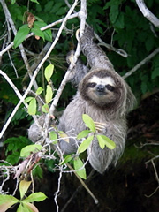 Wildlife, like this three-toed sloth, can get close enough to reach out and touch during boat tours of the Panama Canal and Lake Gatún