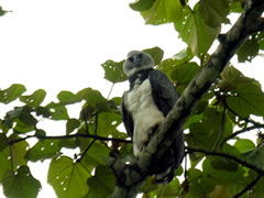 Spotting the endangered harpy eagle is a rare treat, even in the Panamanian rainforest.