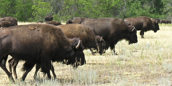Buffalo (American Bison) in Custer State Park, South Dakota