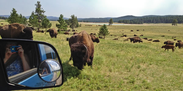 Where the buffalo roam: Custer State Park, South Dakota