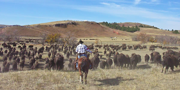 Cowboys round up the massive herd of buffalo in Custer State Park, South Dakota