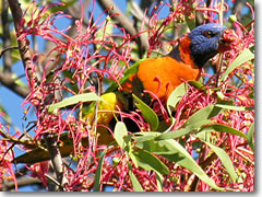 The spectacularly colorful red-collared lorikeet of Australia.