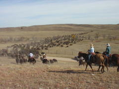 Once the park's northern and southern herds are reunited, cowboys drive them toward the corrals and teh waiting crowds.