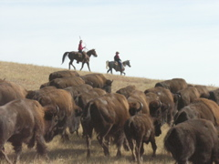 South Dakota's Custer State Park is home to around 1,200 to 1,500 head of American bison, which must be rounded up each fall to be counted, culled, and cared for.